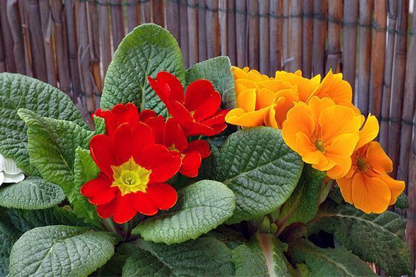 نحوه تکثیر و نگهداری گل پامچال در گلدان